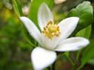Orange Blossom by lilbittalove